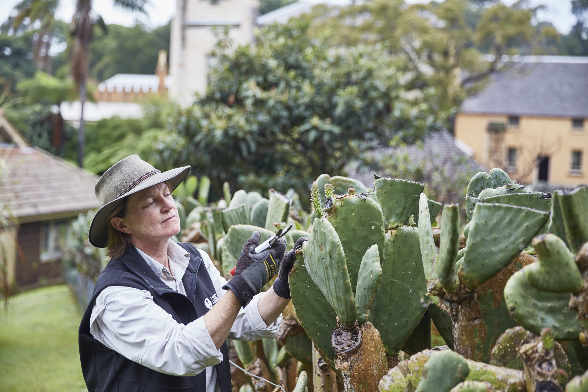 Horticulturist Anita pruning the prickly pear at Vaucluse House