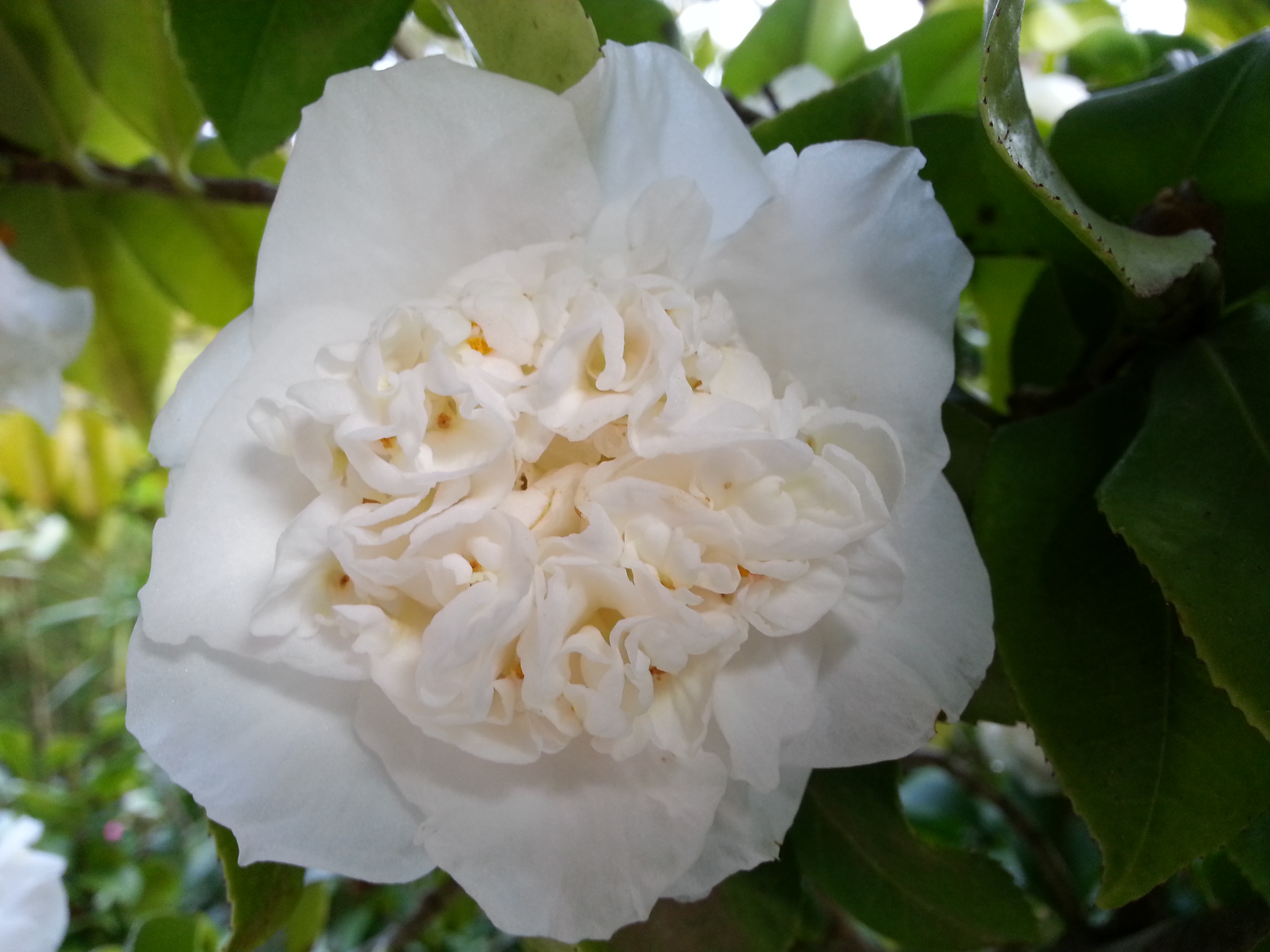 Camellia Days At Vaucluse House Sydney Living Museums