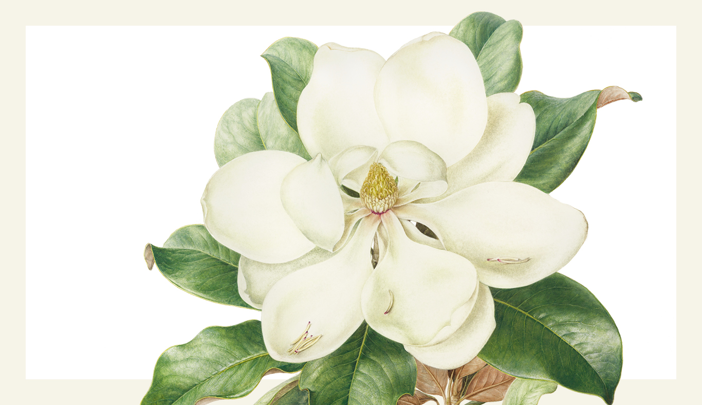 Botanical illustration of Magnolia grandiflora (Bull bay or southern magnolia) by Jenny Phillips, 2015.