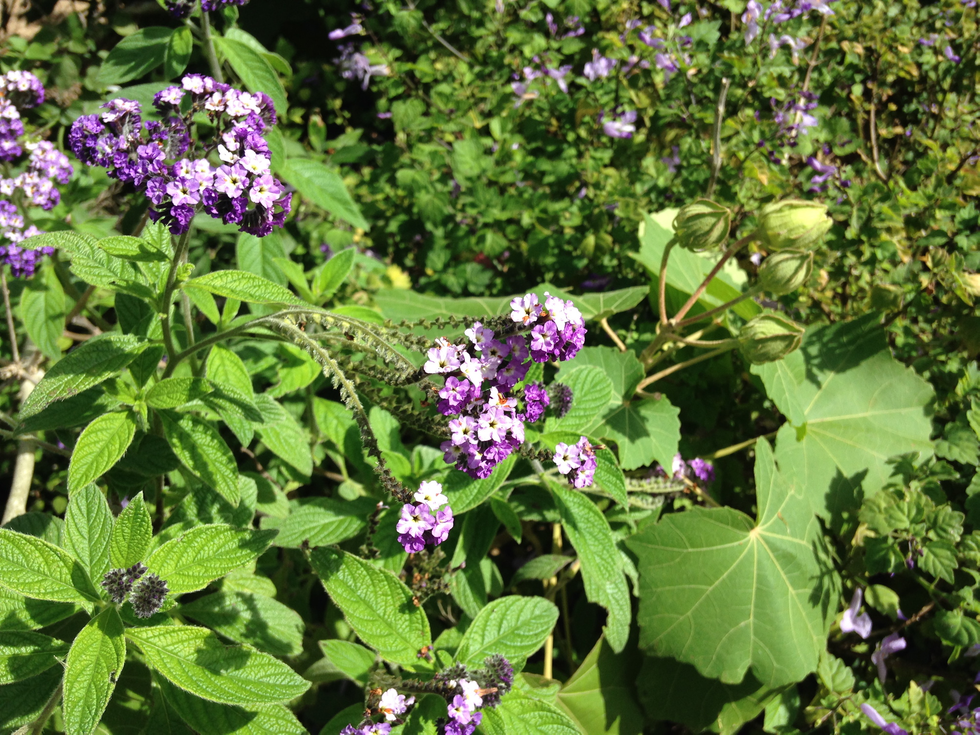 Variegated purple flowers against green foliage.