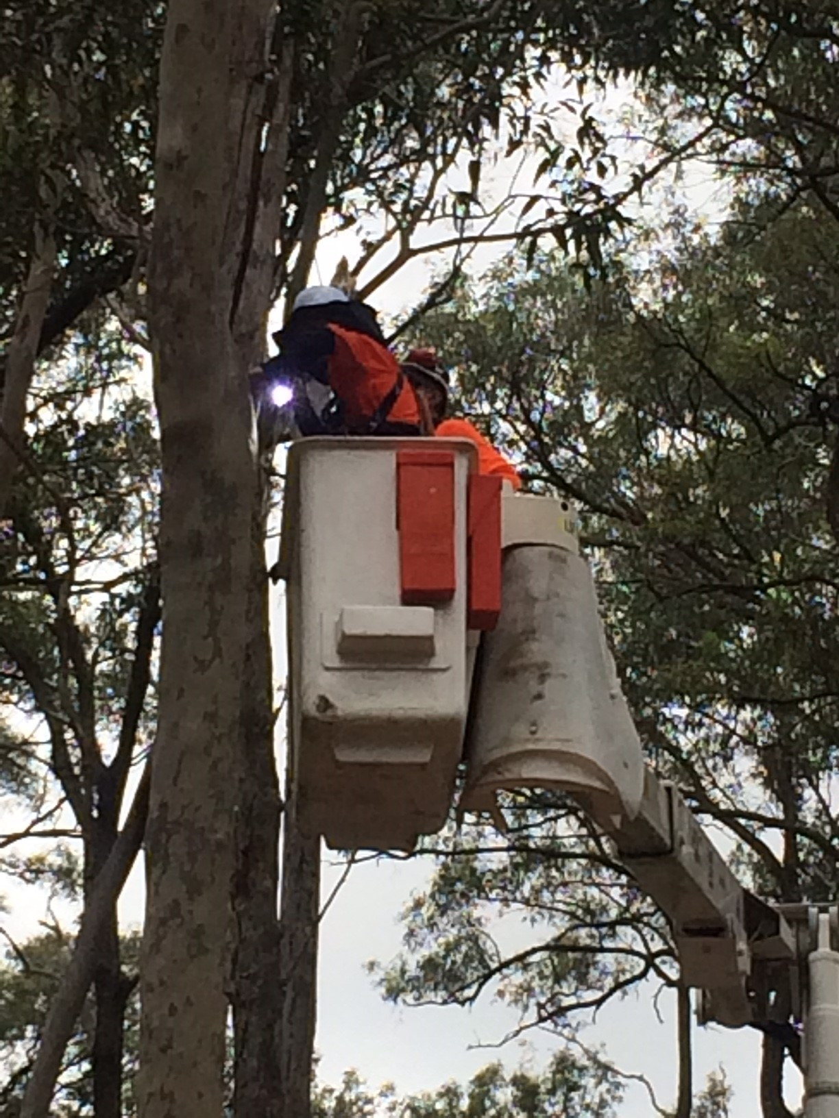 Man in white elevator platform inspecting tree hollow.