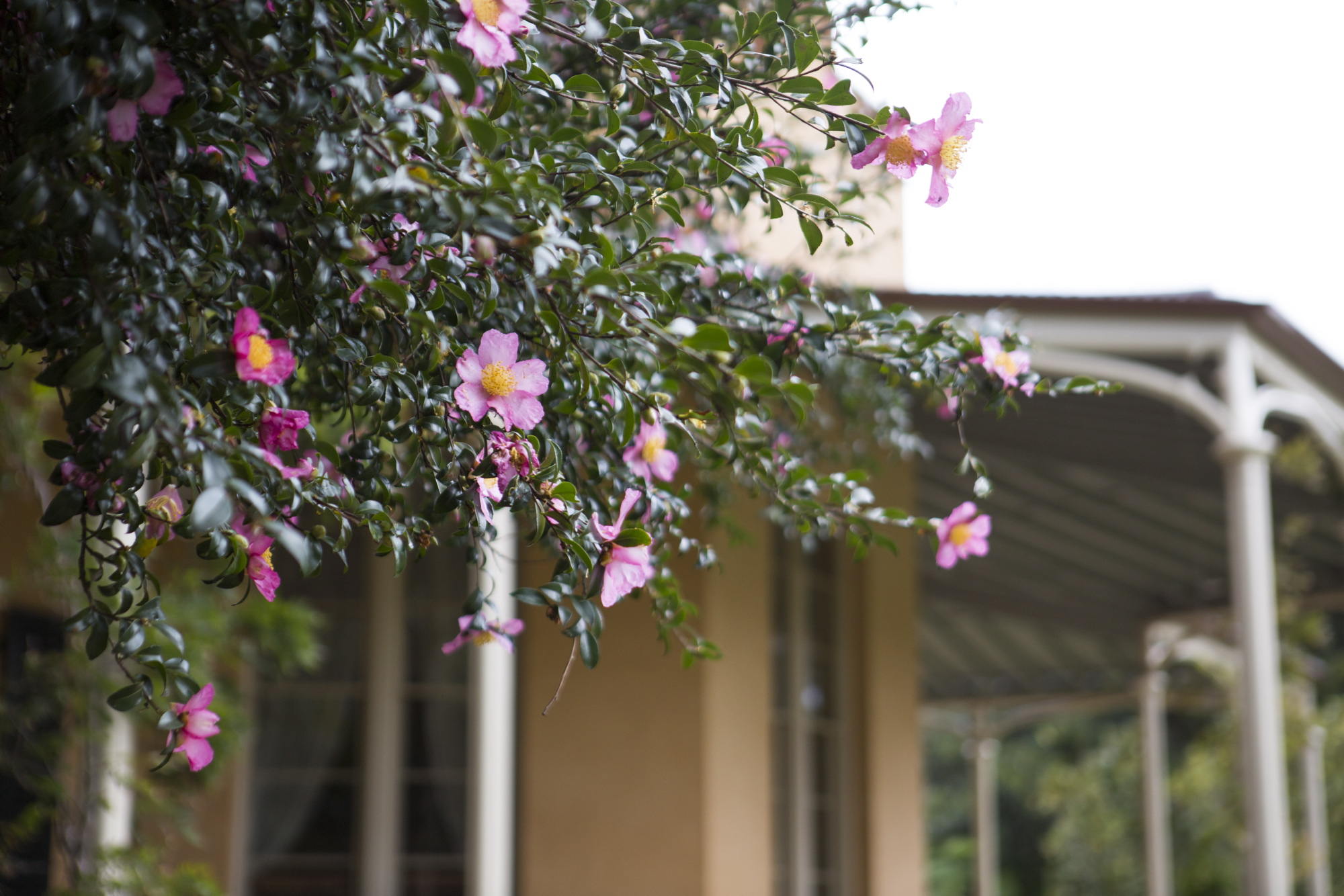 Photograph of a camellia with pink flowers beside Vaucluse House