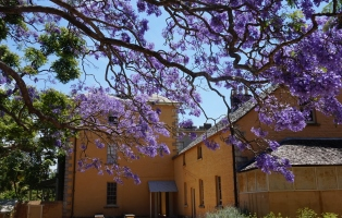 A jacaranda in flower in the courtyard at Vaucluse House.