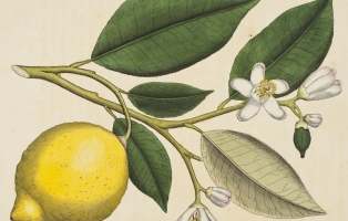 Hand-coloured image of branch of tree with leaves, lemon and flowers.