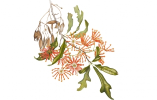 Botanical illustration of Stenocarpus sinuatus by Angela Lober, 2008.