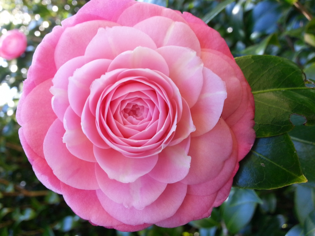 Close-up of a pink-coloured formal double camellia