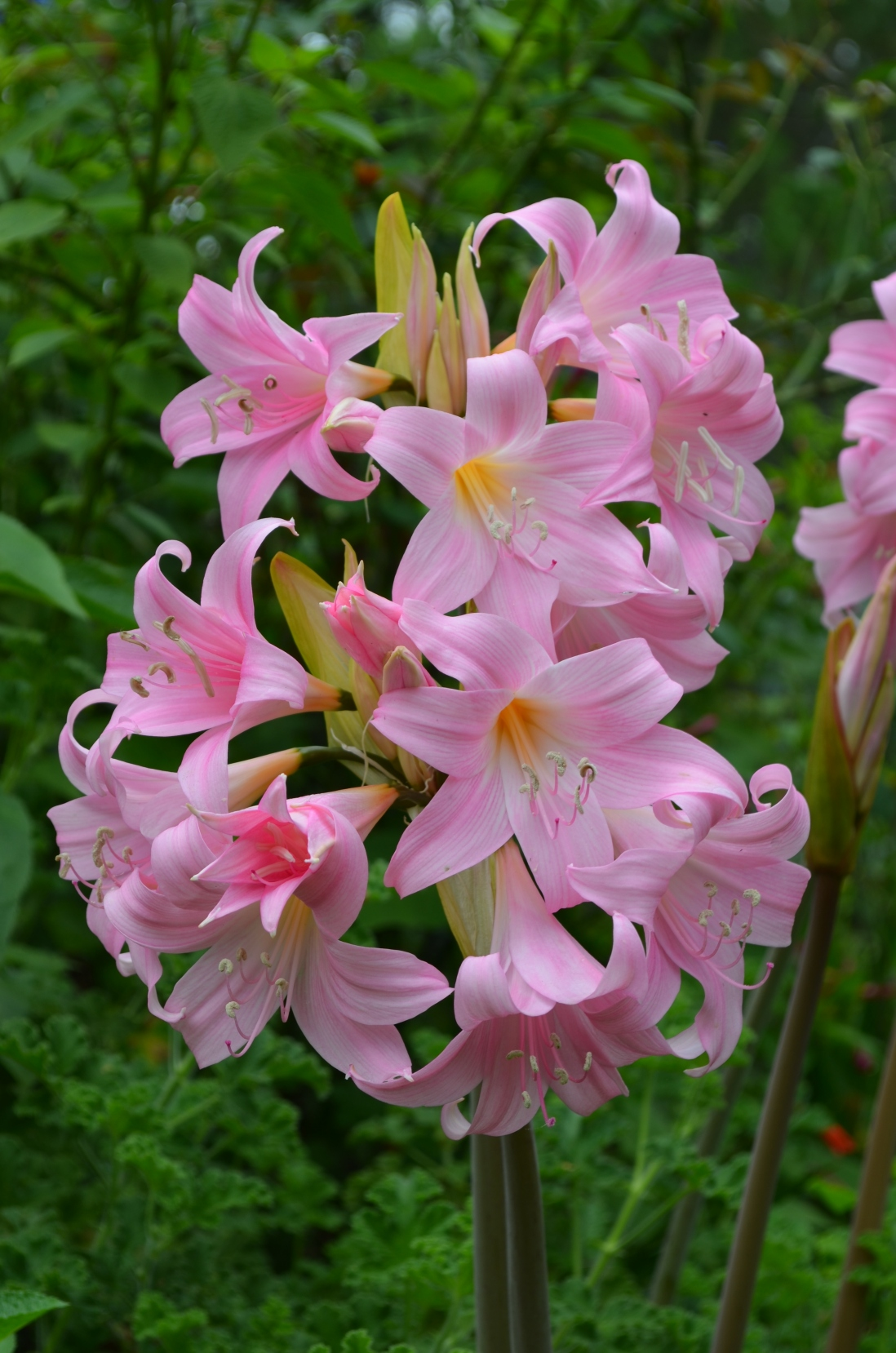 A close up of the pink bloom of the Belladonna lily