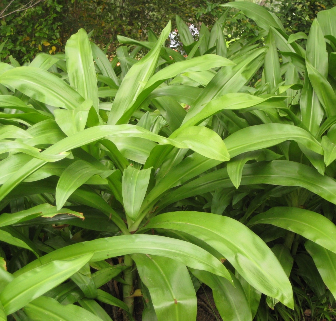 the lush green foliage of Crinum moorei prior to flowering