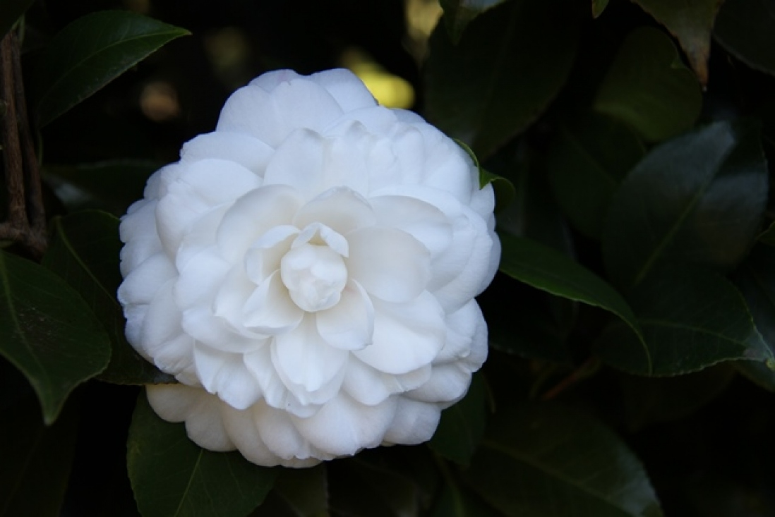 Photograph of a white camellia on a background of dark green leaves