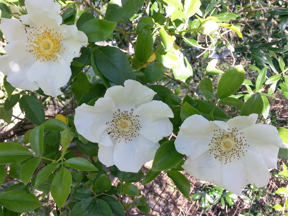 Photograph of Cherokee rose in the gardens at Vaucluse House.
