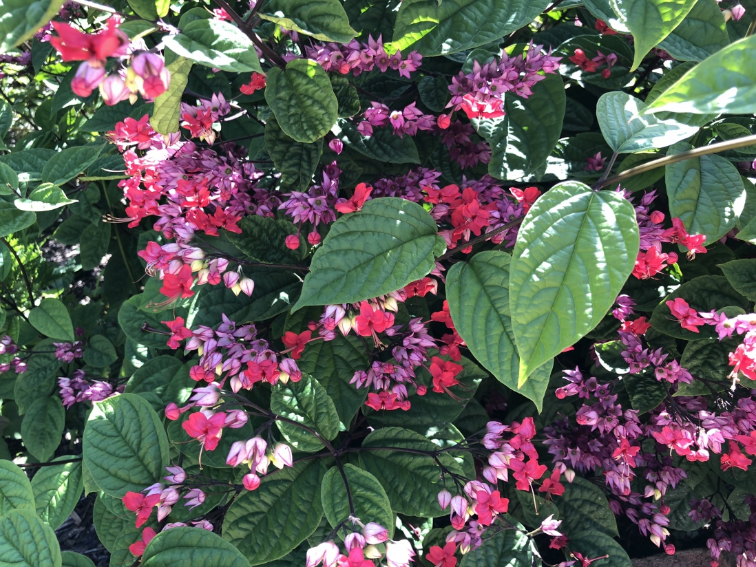 Flaming Glory Bower (Clerodendrum splendens) at Vaucluse House