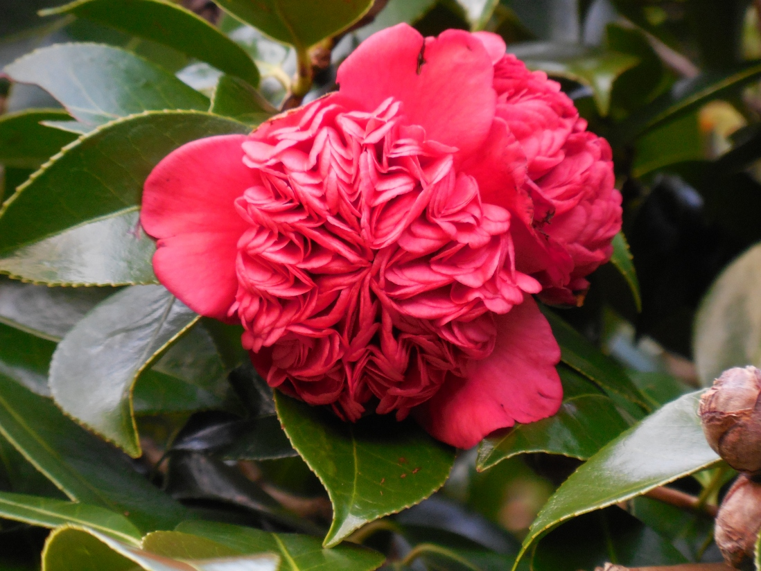 The 'waratah' camellia at Vaucluse House | Sydney Living Museums