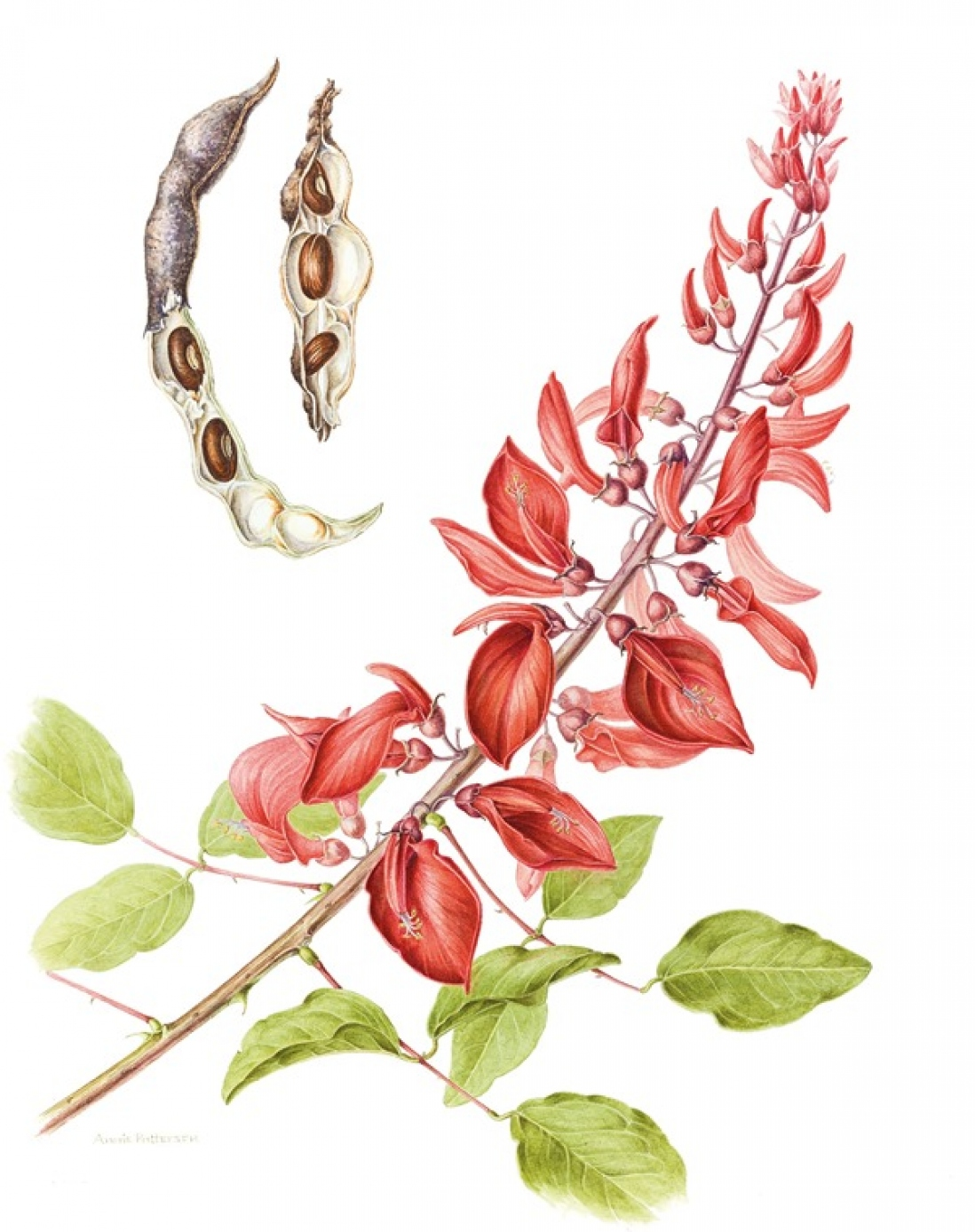 Botanical illustration of Erythrina crista-galli 'Hendersonii'