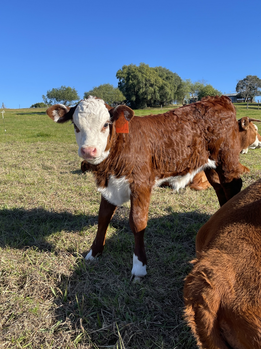 Calf at Rouse Hill Estate