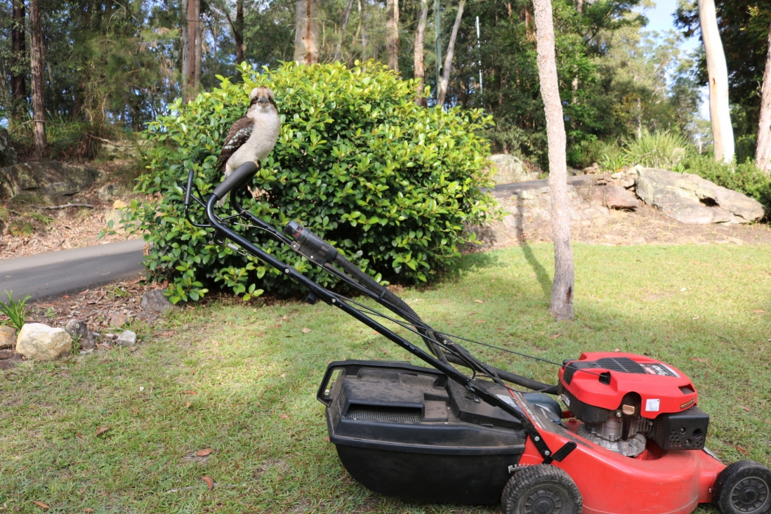A Kookaburra sits on the handle of the lawn mower at rose seidler house