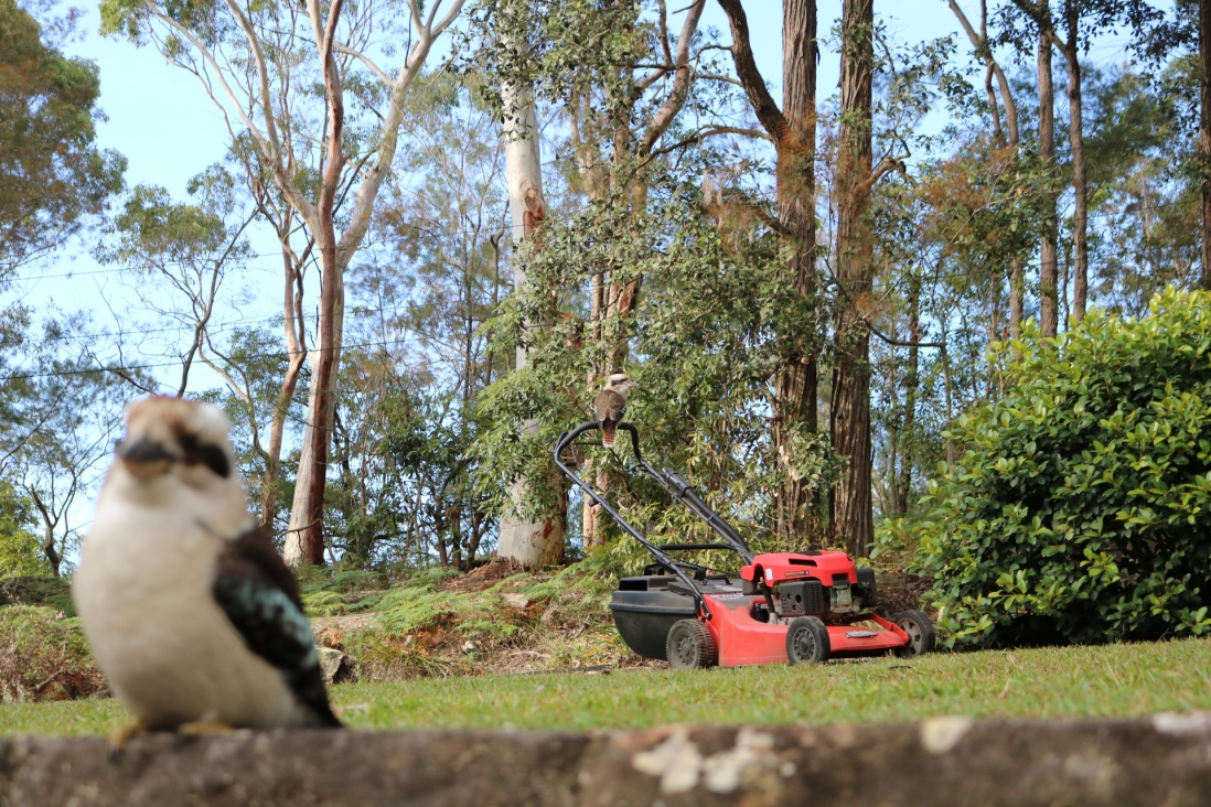 One kookaburra watches from atop the mower thwe other on the wall at rose seidler house