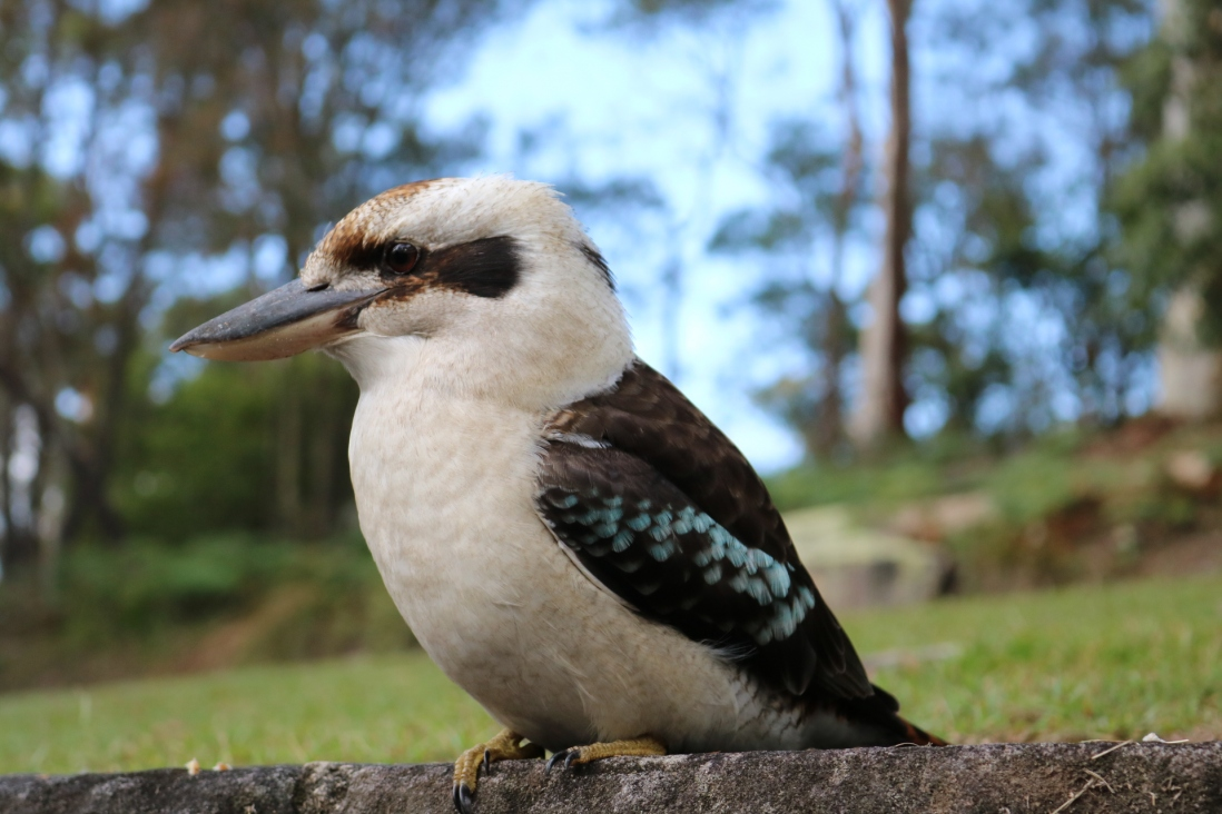 A close up photo of the kookaburra that visited us at Rose Seidler house