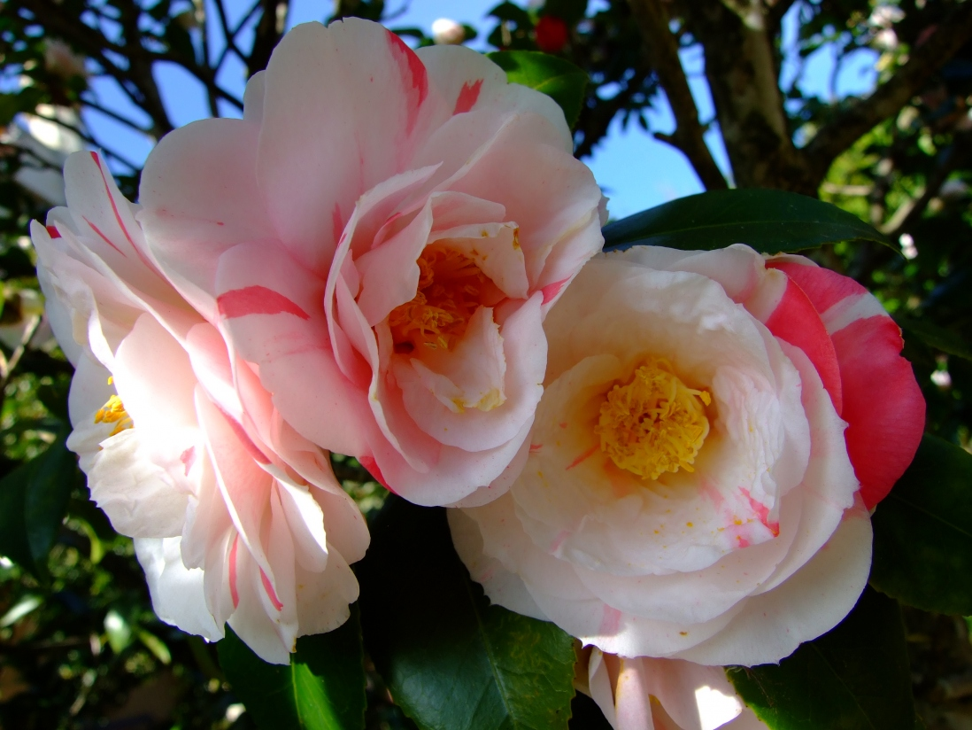 Photograph of cream camellias striped with pink