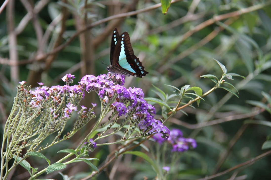 Photograph of purple flowers and a butterfly on a green background.