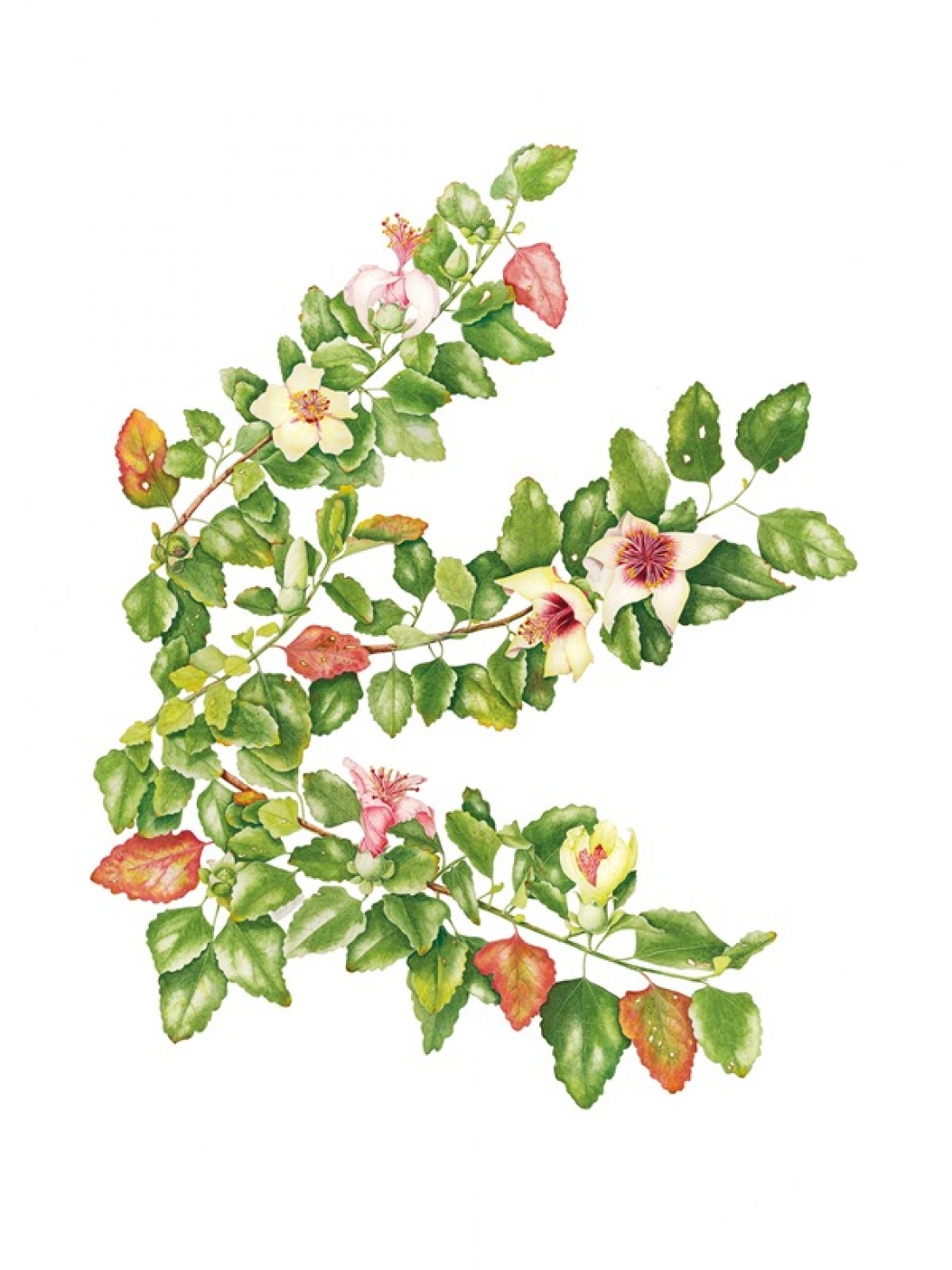 Botanical illustration of Hibiscus insularis