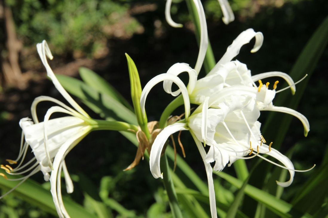 the bulb of the Lily of the Incas (Hymenocallis peruviana) in bloom at Vaucluse House