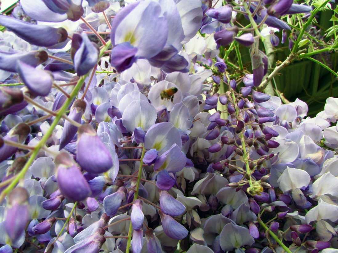 Closeup of purple blossoms with bee.