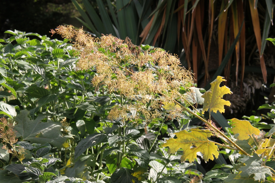 Photograph of plume poppy (Macleaya cordata) in the gardens at Vaucluse House.