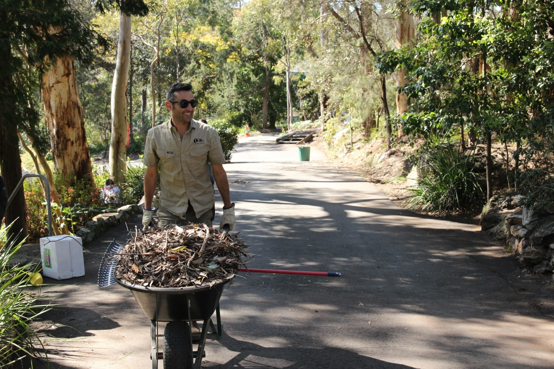 Horticulturist Leigh pushing a wheelbarrow of leaf litter up the drive way at Rose Seidler House working bee 2017