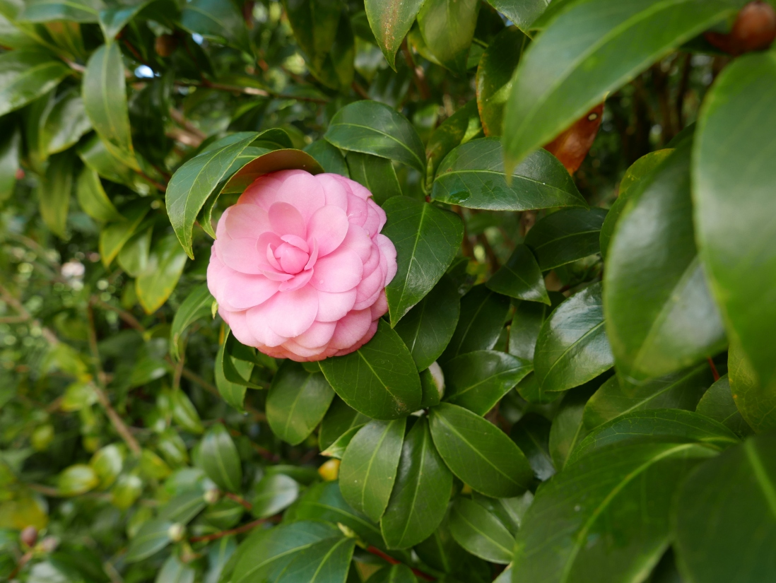 Pale pink bloom of the camellia Virginia Franco variety