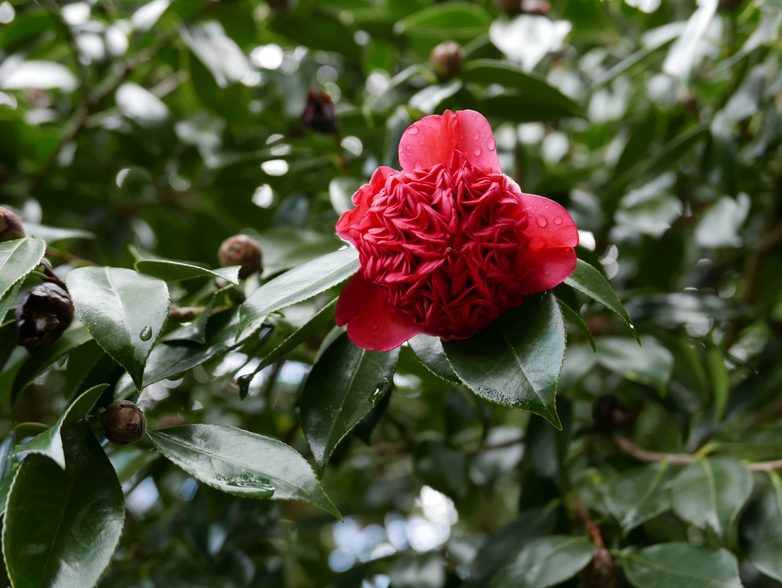 The double bloom of the waratah camellia at Vaucluse House