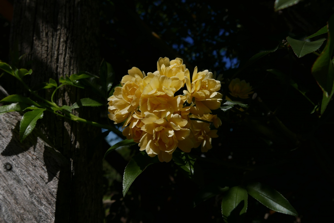 The yellow Lady Banks' rose at Rouse Hill House and Farm