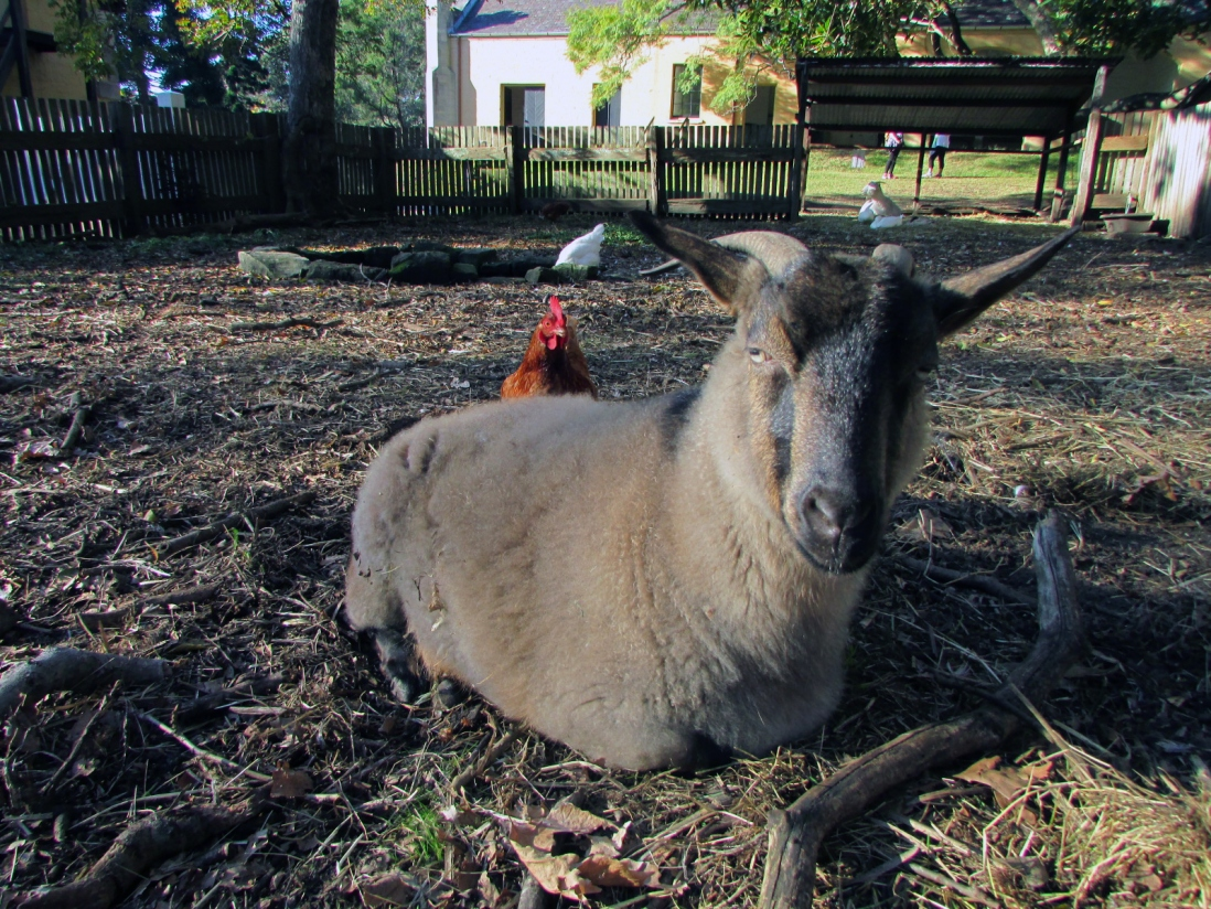 Brown goat resting on ground with chicken at back, with house in background.