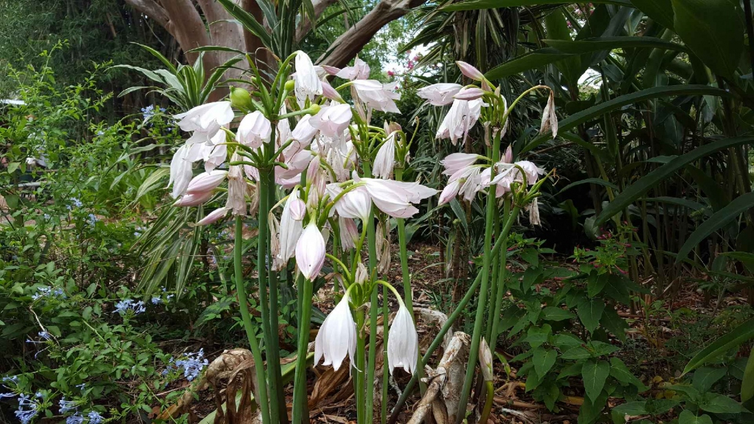 A cluster of the natal lily's drooping pink blooms