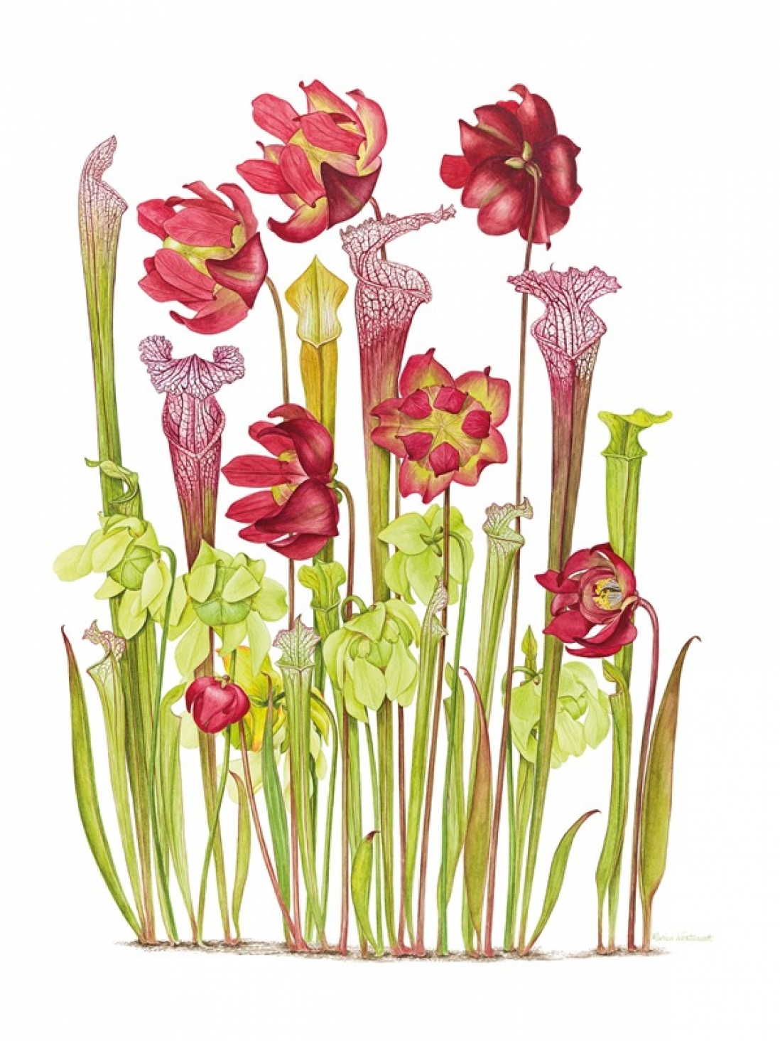 Botanical illustration of Sarracenia leucophylla + S. alata