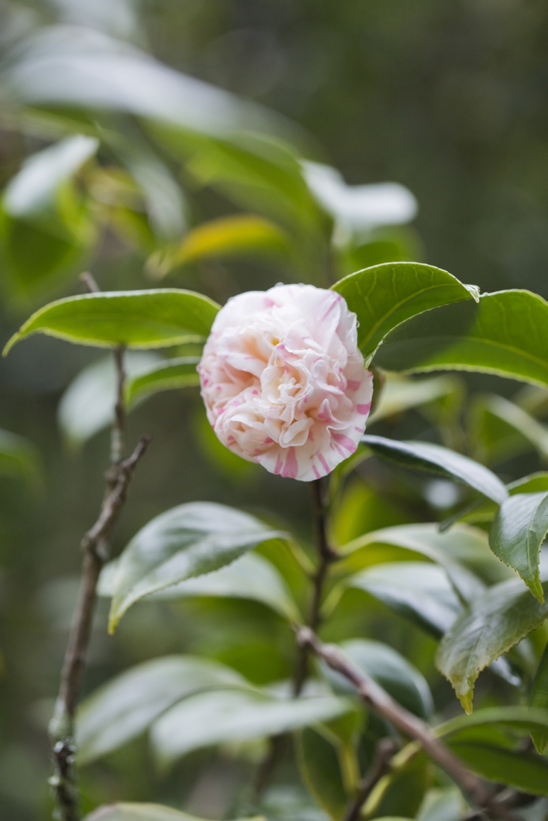 Close-up of a pink and white peony-form camellia