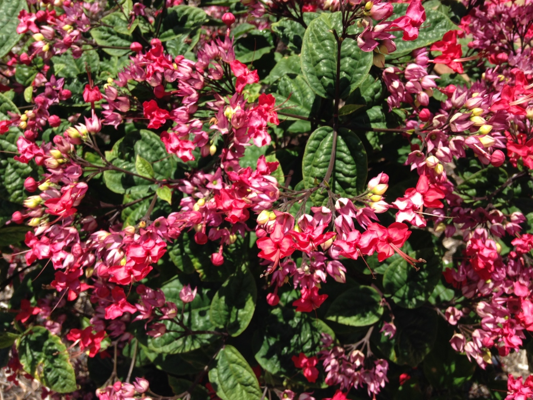 Photograph of bleeding heart vine (Clerodendrum splendens) in the gardens at Vaucluse House.