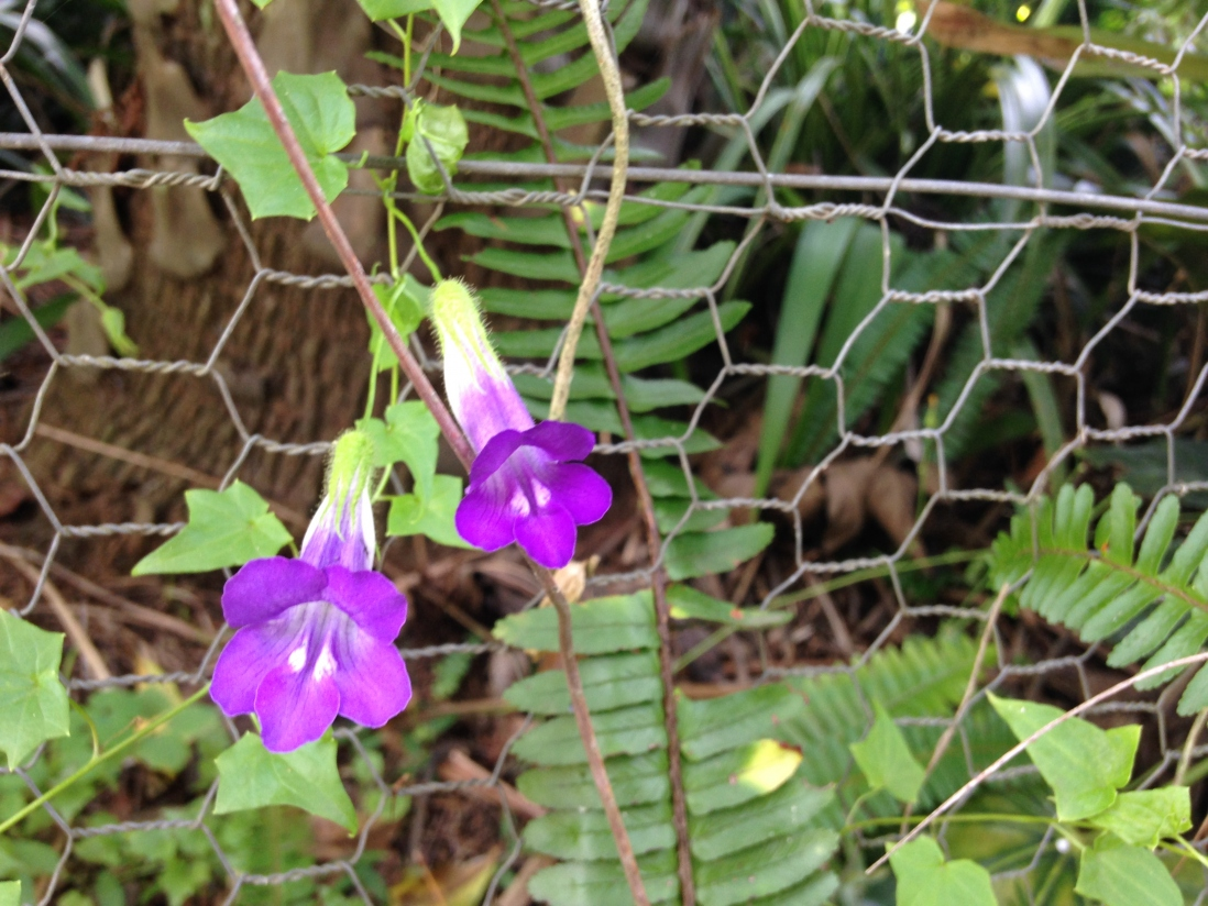Photograph of purple Mexican viper (Maurandya barclayana) in the gardens at Vaucluse House