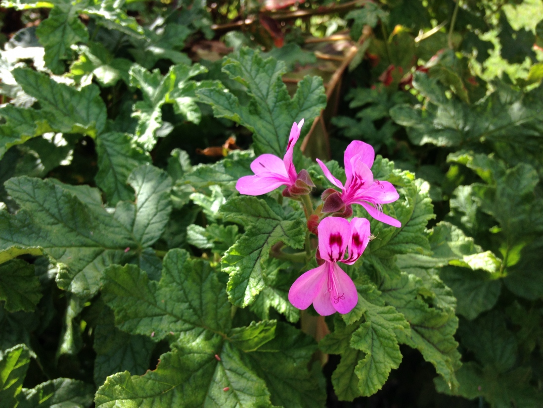 Photograph of pink Pelargonium flowers in the gardens at Vaucluse House