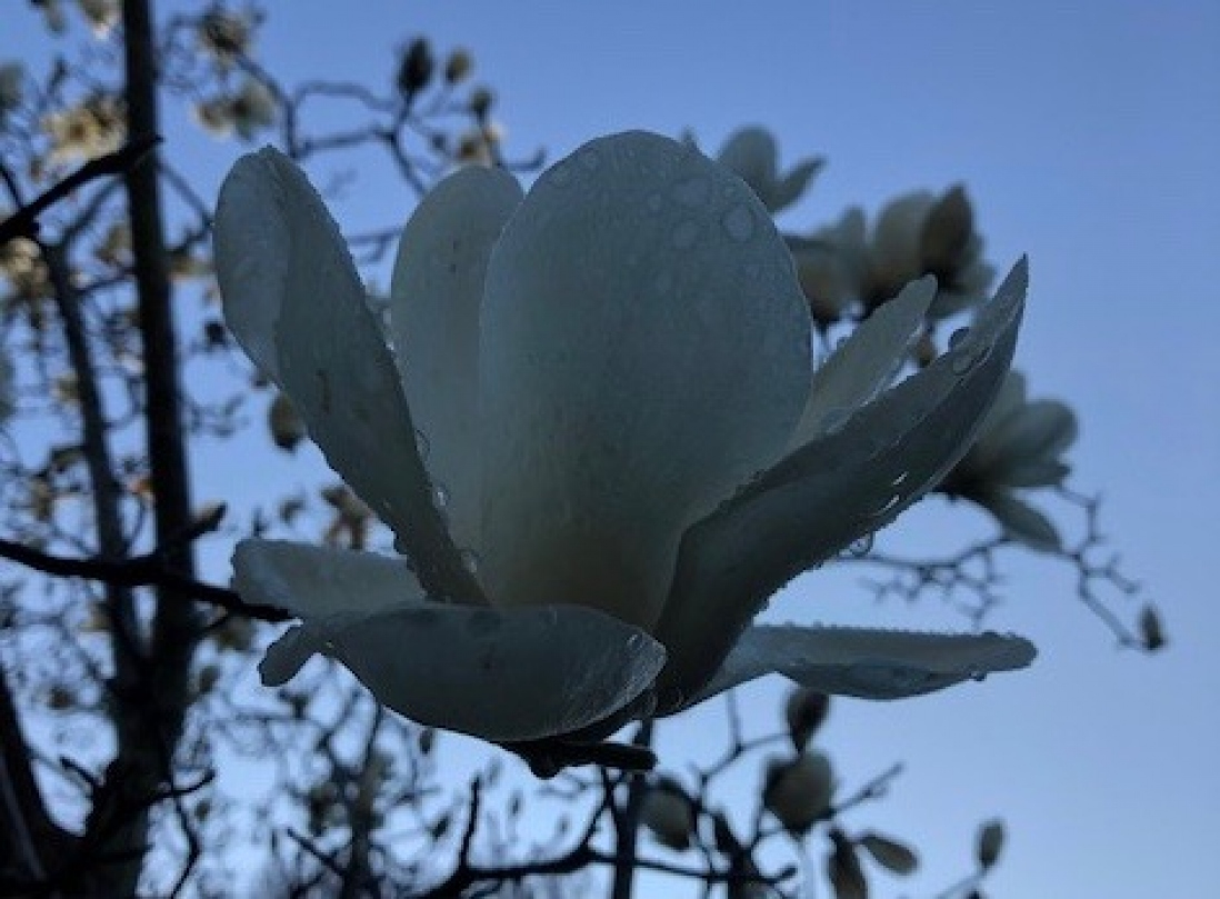 Filling the frame you can see the pure white Magnolia denudata bloom with morning dew stuck to the petals.