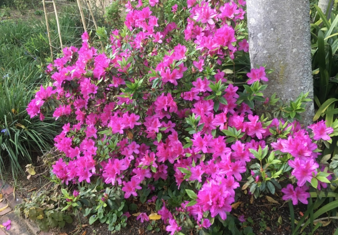 the electric pink Azalea in the Vaucluse House Peasure Garden