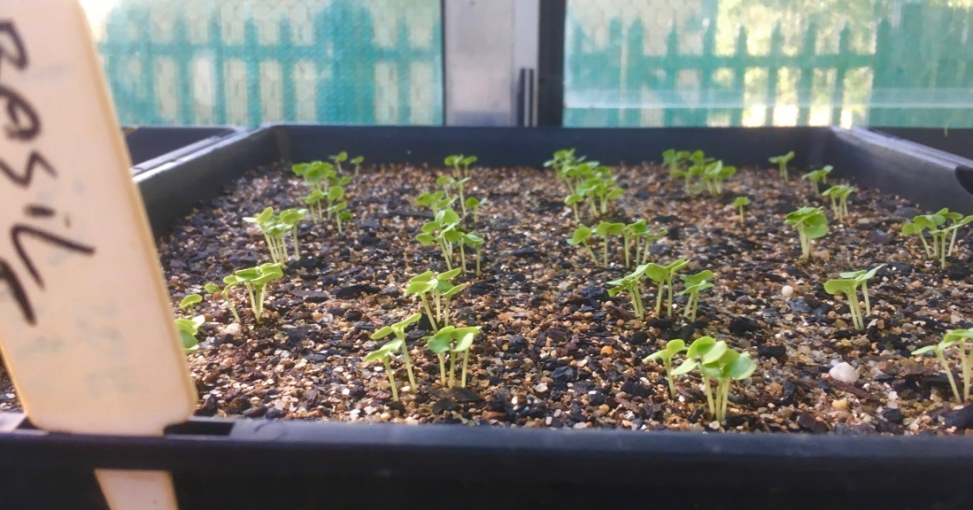 Image of a seed tray with baby basil seedlings sprouting
