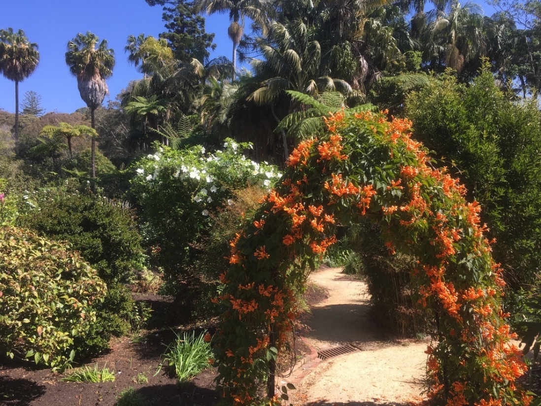 The orange of the Pyrostegia contrasts the white of the Cherokee Rose in the pleasure garden at Vaucluse House