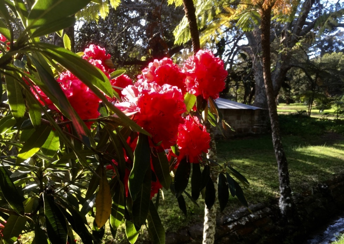 Vaucluse House Rhododendron with its red/pink flowers is a spectacle to see.