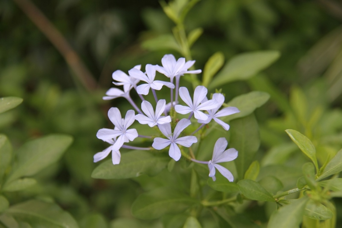 Photograph of plumbago flowers in the gardens at Vaucluse House