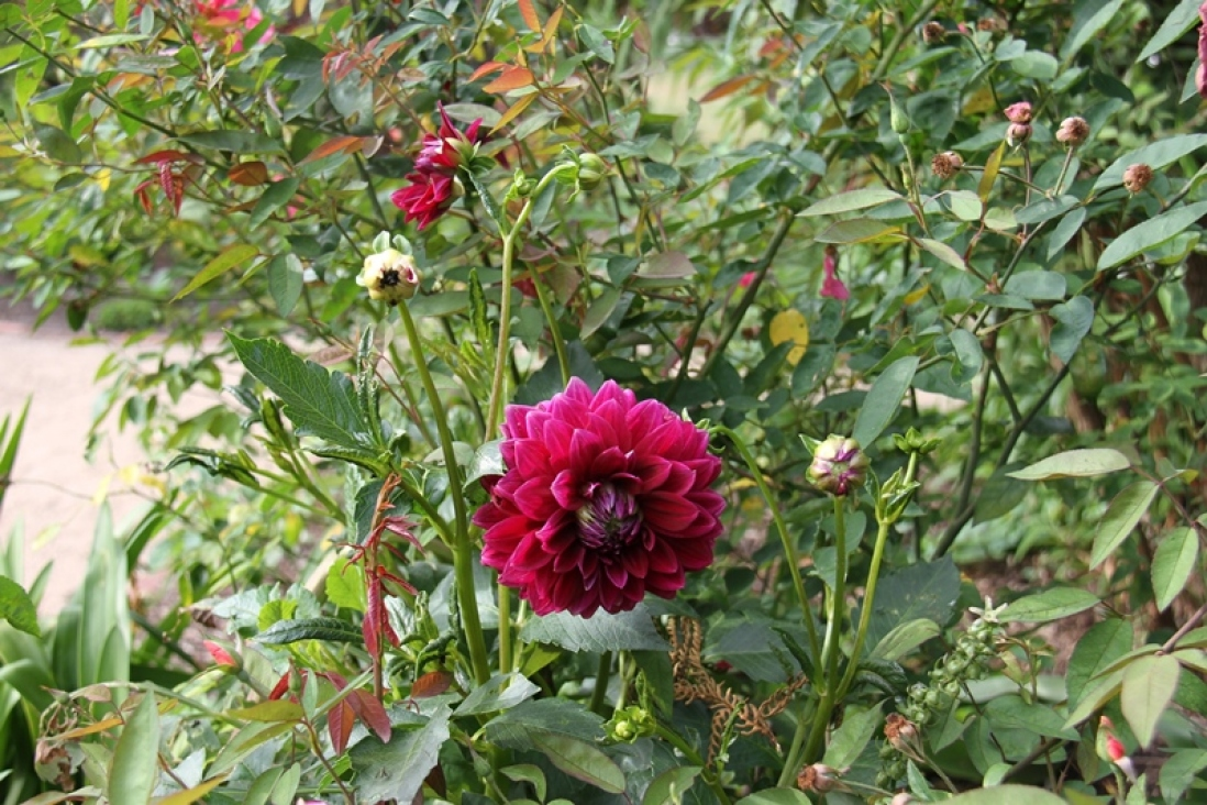 Photograph of a dahlia in bloom in the gardens at Vaucluse House
