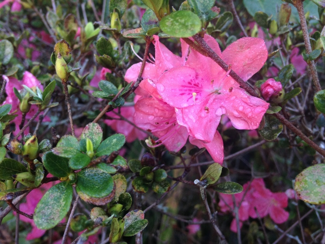 Photograph of an azalea flower growing in the gardens at Vaucluse House