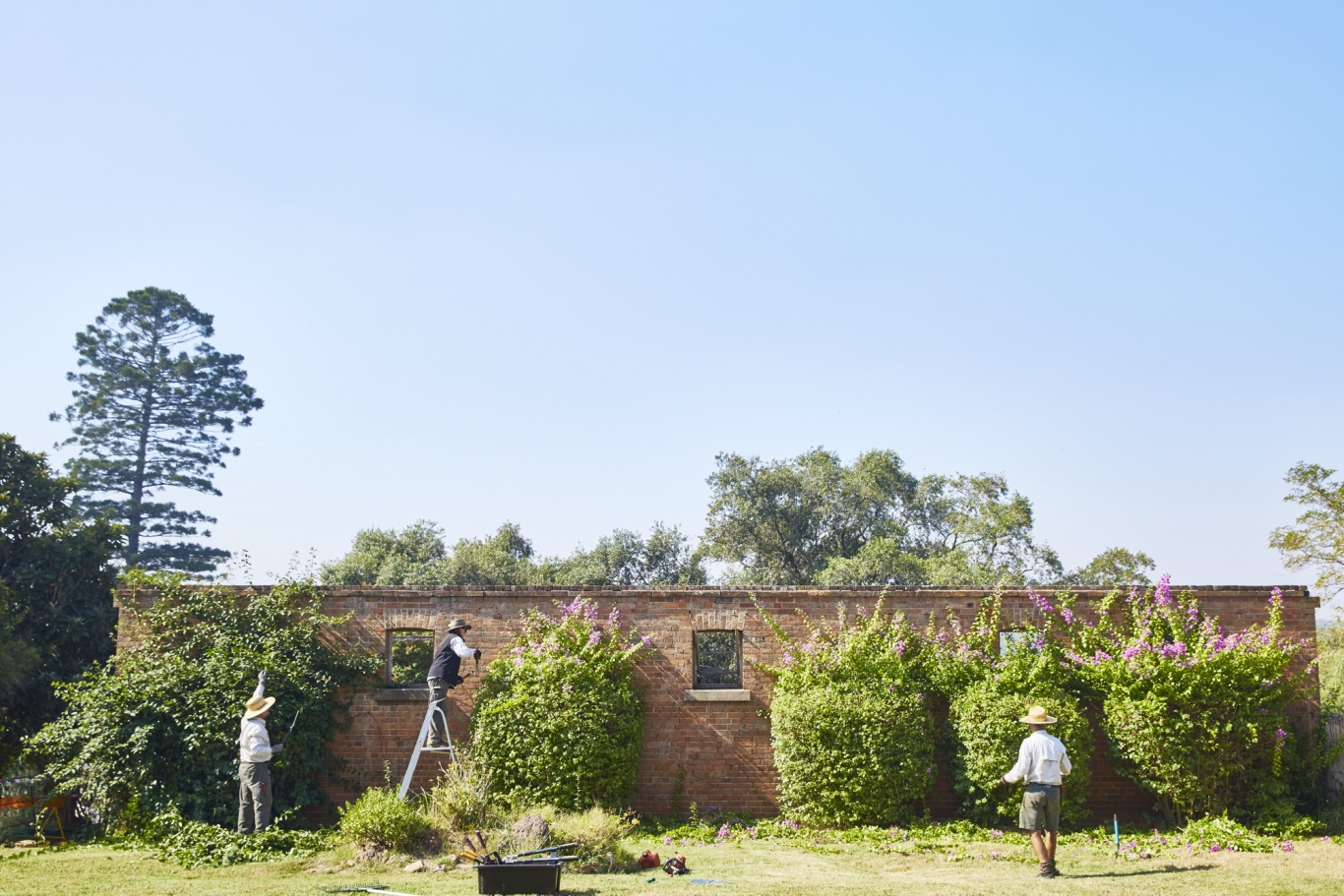 Photograph of the SLM gardens team pruning the bougainvillea