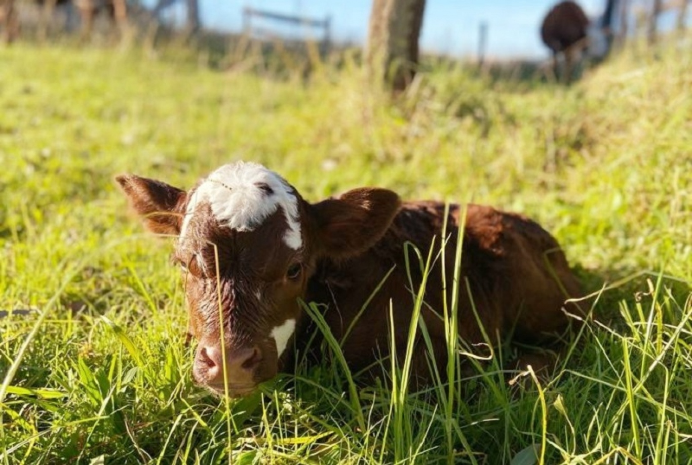 Calf sitting in the paddock at Rouse Hill Estate