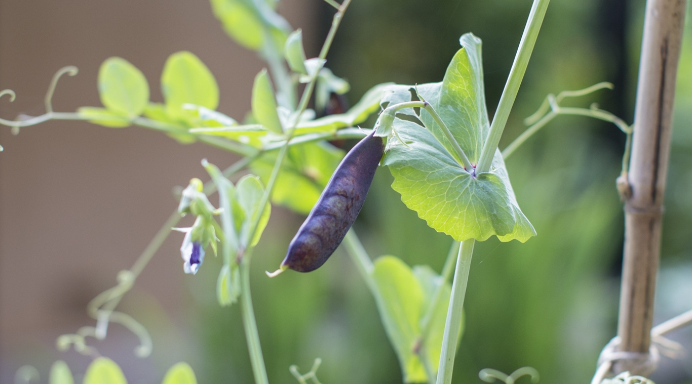 Purple-podded pea