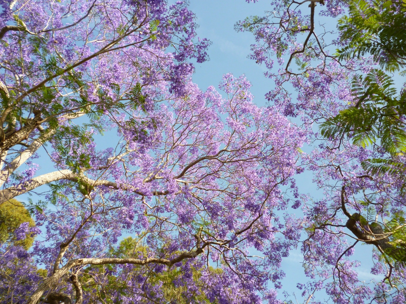 Photograph of a canopy of jacaranda.